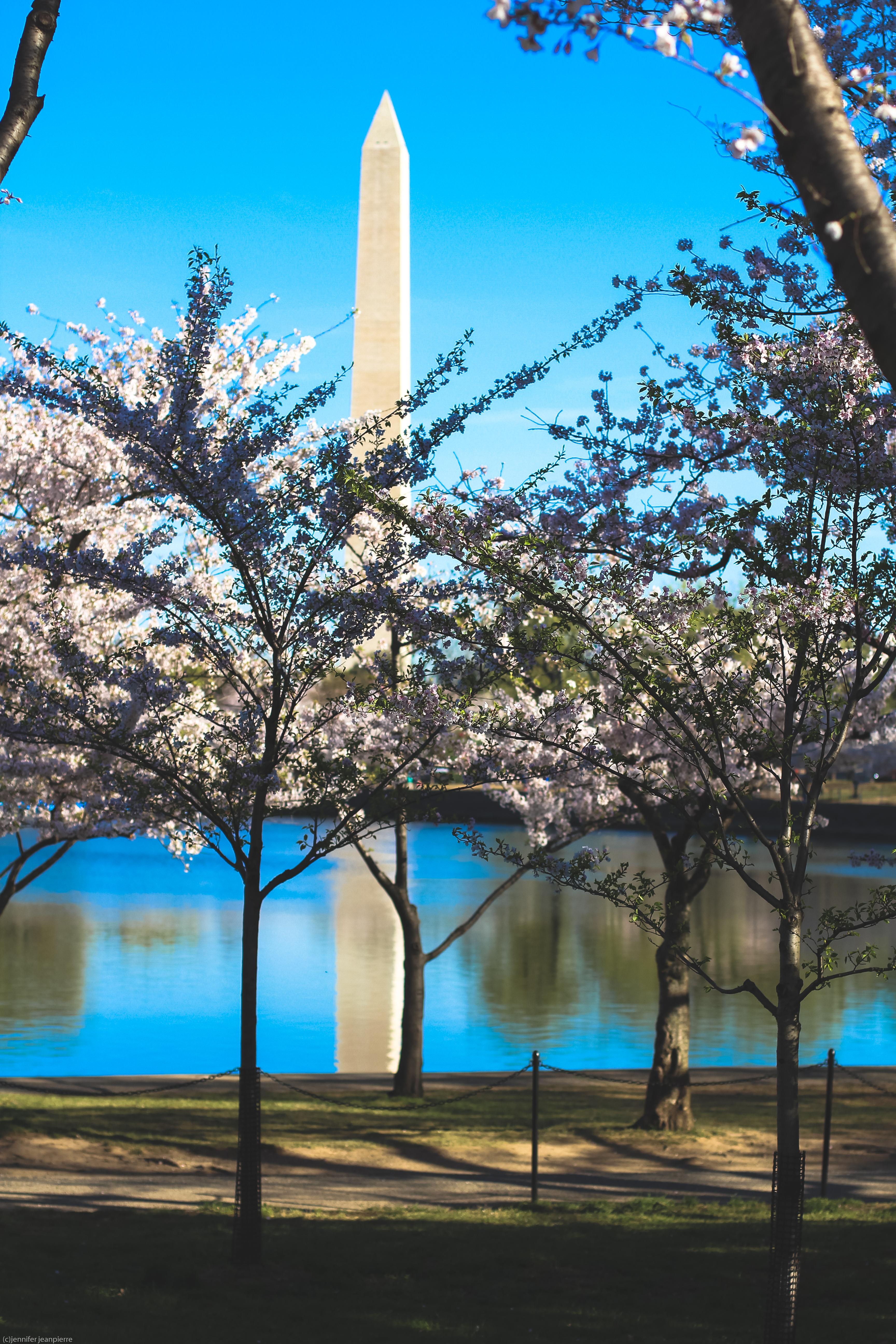 353 1 - DC Cherry Blossom Festival Blogger